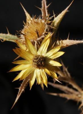 קיצנית אשכולית Carlina racemosa L.