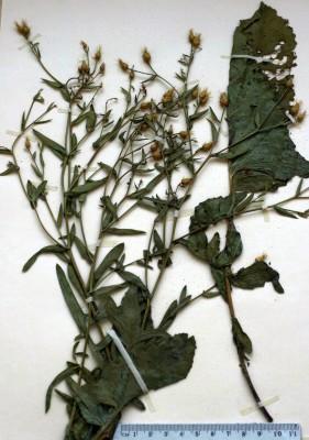 דרדר אלף-ראשים Centaurea rigida Banks & Sol.
