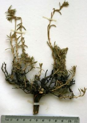 מלחית מאפירה Salsola boissieri Botsch.
