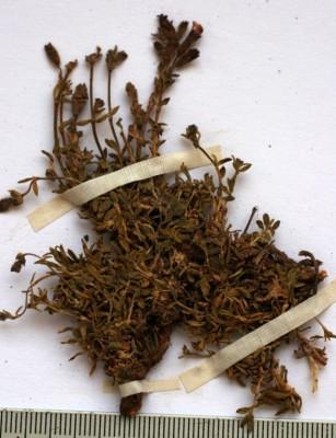 בורית מאובקת Saponaria pumilio Boiss.