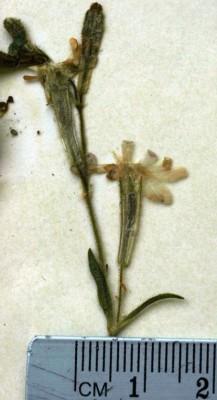 ציפורנית ערבית Silene arabica Boiss.