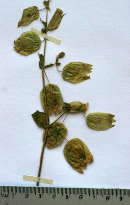 Silene physalodes Boiss.