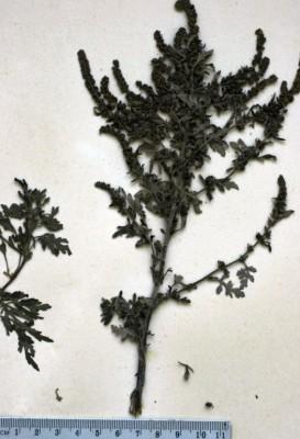 אמברוסיה ימית Ambrosia maritima L.