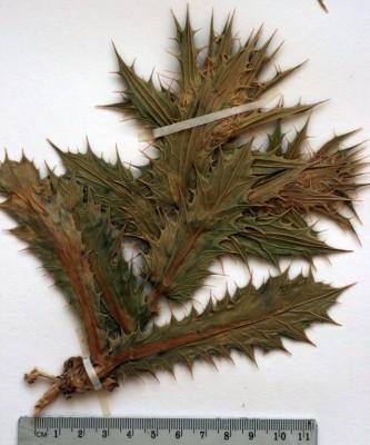קרדנית צמירה Carduncellus eriocephalus Boiss.
