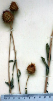 דרדר החרצית Centaurea balsamita Lam.
