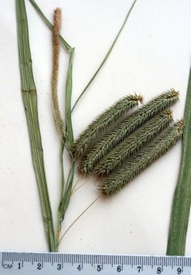 כריך גומאי Carex pseudocyperus L.