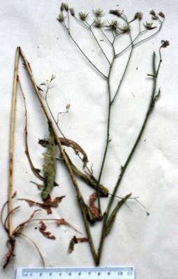 ניסנית נאה Crepis pulchra L.