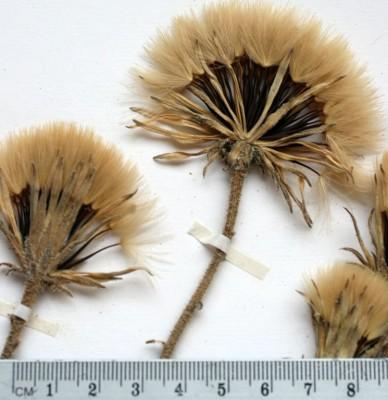 שן-ארי מחוספסת Leontodon asperrimus (Willd.) Ball
