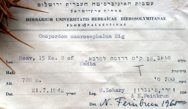 Onopordum macrocephalum Eig