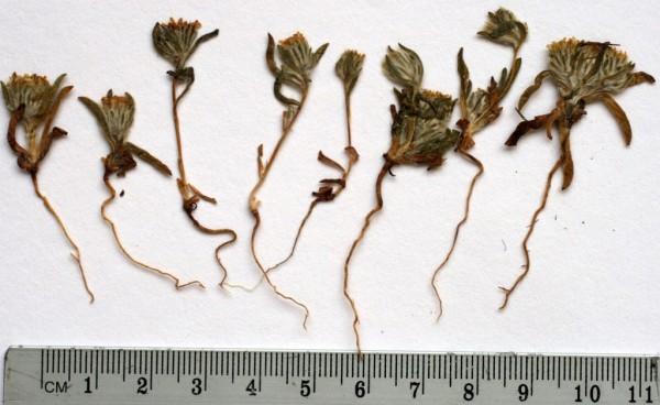 פרעושית החורן Pulicaria auranitica Mouterde