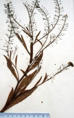 רוריפה טובענית Rorippa amphibia (L.) Besser