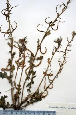 מחרוזת כינורית Enarthrocarpus lyratus (Forssk.) DC.
