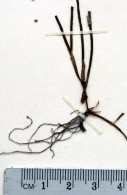 ימית חד-עורקית Halodule uninervis (Forssk.) Asch.
