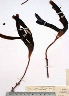 בת-גלית ריסנית Thalassodendron ciliatum (Forssk.) den Hartog