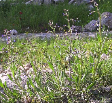 לשון-פר סמורה Anchusa strigosa Banks & Sol.