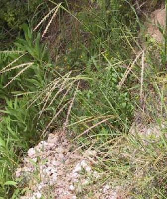 זקניים משובלים Andropogon distachyos L.