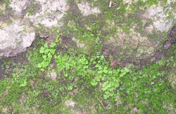 חשפונית עדינה Anogramma leptophylla (L.) Link