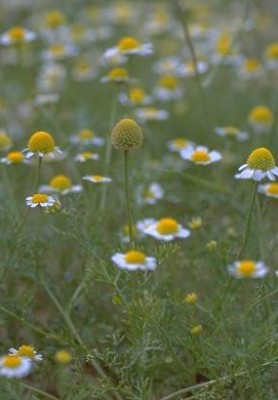Anthemis hebronica Boiss. & Kotschy