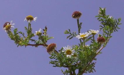 קחוון ארץ-ישראלי Anthemis palestina Boiss.