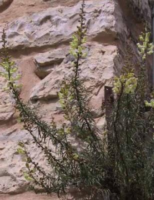 לוע-ארי סיצילי Antirrhinum siculum Mill.