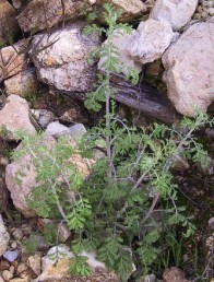 עשבים רב-שנתיים של שולי חורש ויער בבתי גידול סלעיים