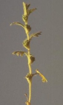 Aphanes arvensis L.