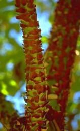הגזע אדום, קליפתו נקלפת בתחילת הקיץ.