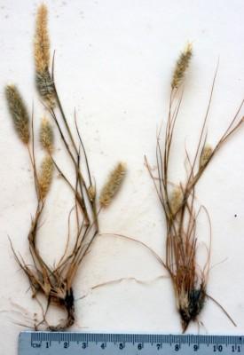 Enneapogon desvauxii P.Beauv.