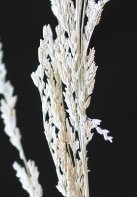 בן-חילף מופסק Eragrostis japonica (Thunb.) Trin.