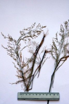 בן-חילף ירקרק Eragrostis virescens J. Presl