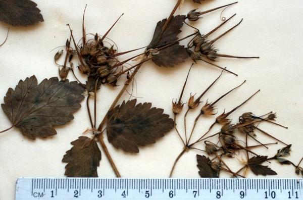 Erodium alnifolium Guss.