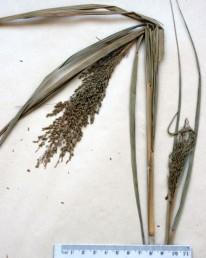 עשב רב-שנתי הגדל בדרום הערבה בעל עלים ועוקצי שיבוליות קרחים.