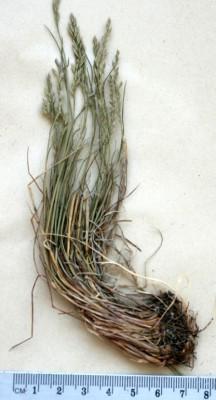 סיסנית שונת-עלים Poa diversifolia (Boiss. & Balansa) Hack.