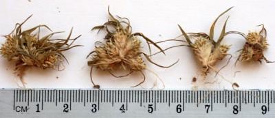 עשבים חד-שנתיים בעלי גבעול קצר מאוד, גובהם 8-1 ס