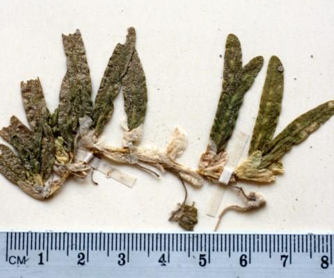 ימון הקשקשים Halophila stipulacea (Forssk.) Asch.