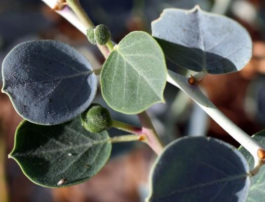 צלף מצרי Capparis aegyptia Lam.