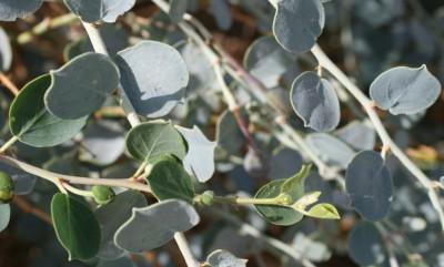 שיחים ירוקי-עד הגדלים במדבר. מכחילים בהשפעת שכבת שעווה על העלים בקיץ; ירוקים בעת הלבלוב.
