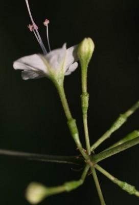 בלוטנית אפריקנית Commicarpus plumbagineus (Cav.) Standl.