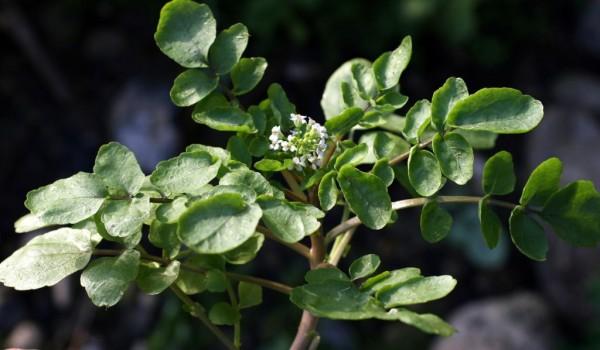 גרגר הנחלים Nasturtium officinale R. Br.