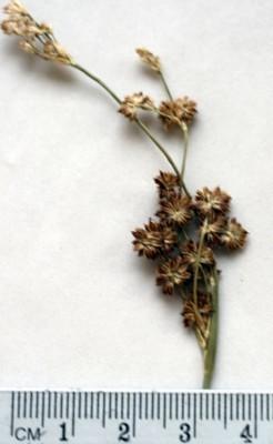 סמר המכבד Juncus punctorius L.f.