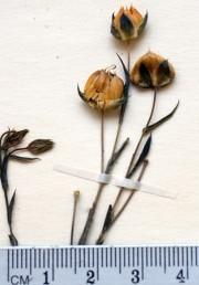 עלי-הגביע דמויי ביצה עד עגולים, בעלי חוד קטן בראשם. צמחים נדירים של עבר הירדן המזרחי.