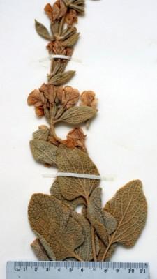 שלהבית כורדית Phlomis kurdica Rech.f.