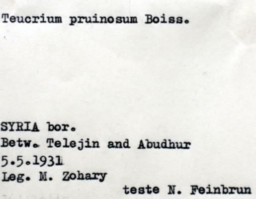 Teucrium pruinosum Boiss.
