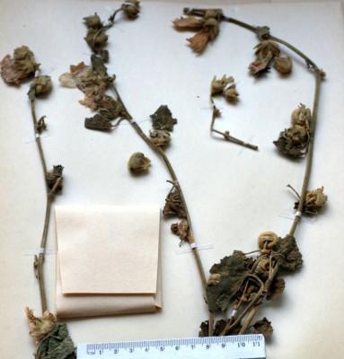 חטמית חסרת-כנפיים Alcea apterocarpa (Cihac.) Boiss.