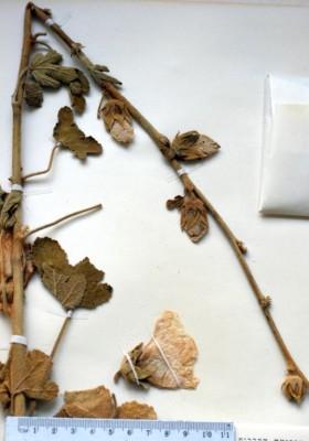 חטמית צהובה Alcea rufescens (Boiss.) Boiss.