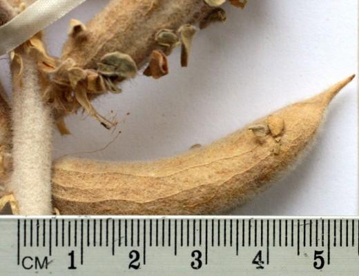 קדד לביד Astragalus fruticosus Forssk.