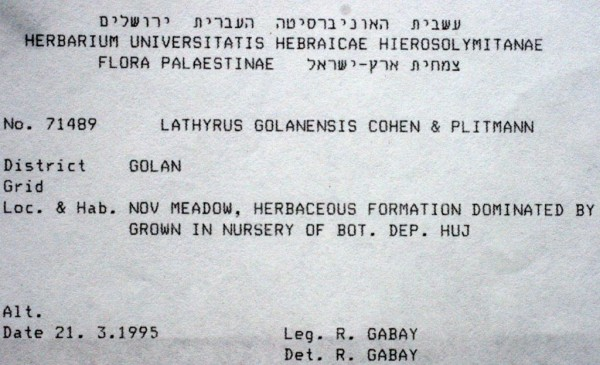 טופח הגולן Lathyrus golanensis Cohen  & Plitmann