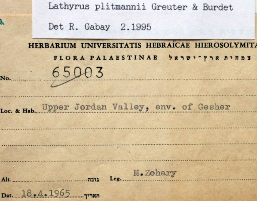 טופח חד-עורקי Lathyrus plitmannii Greuter & Burdet