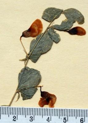 Lathyrus roseus Steven
