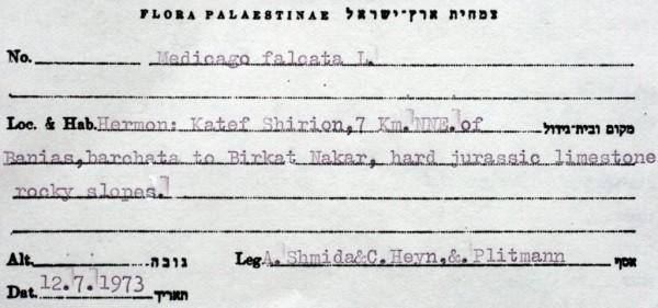 אספסת חרמשית Medicago falcata L.